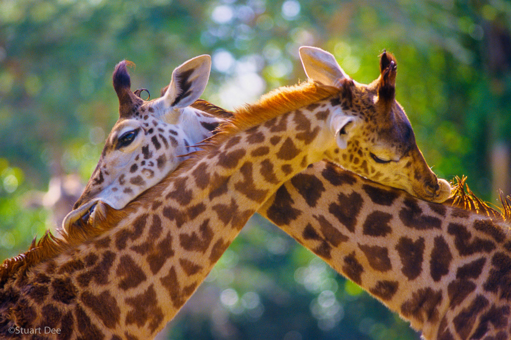 "Two giraffes licking each other's mane, embracing, scratching each other's back, ""You scratch my back, and I'll scratch yours"""