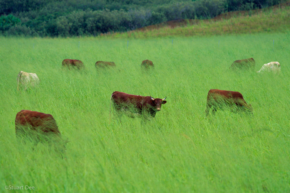 Cows grazing in field, Kauai, Hawaii, USA