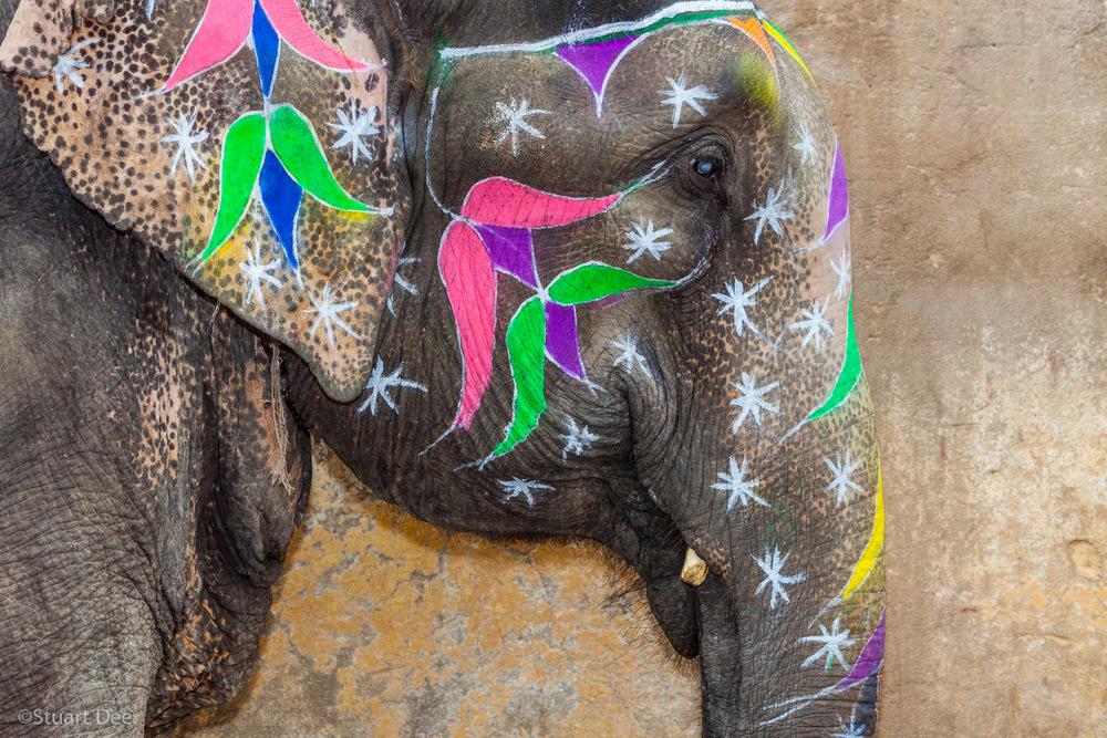 Elephant, Jaipur, Rajasthan, India
