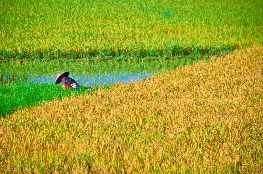 Farmer In Rice Fields, Bohol Philippines. This image shows the rice in four different stages, from newly transplanted to almost ready for harvest