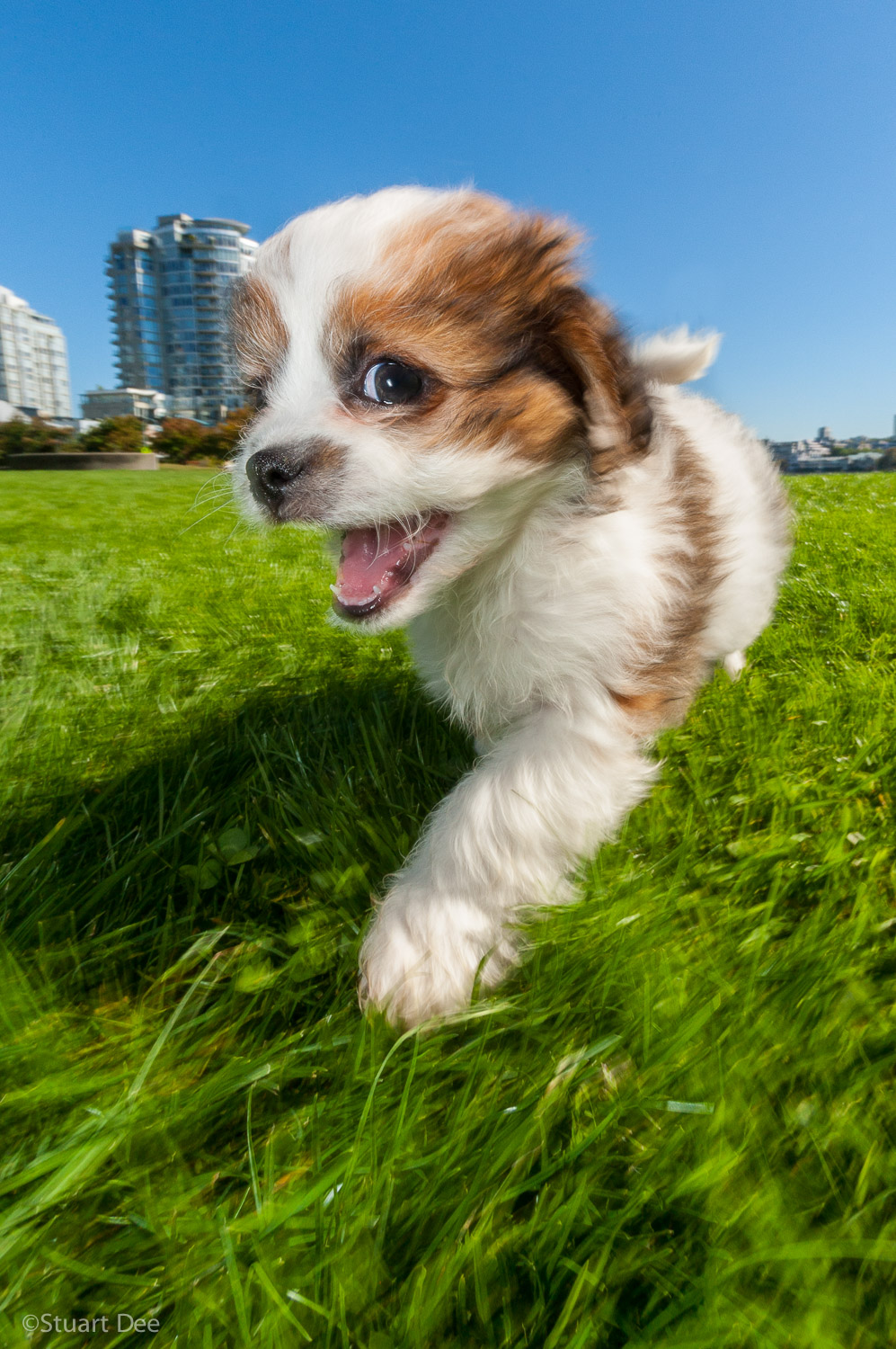 Cute puppy dog in park, Vancouver, BC, Canada. Shitzu - King Charles Cavalier mix breed