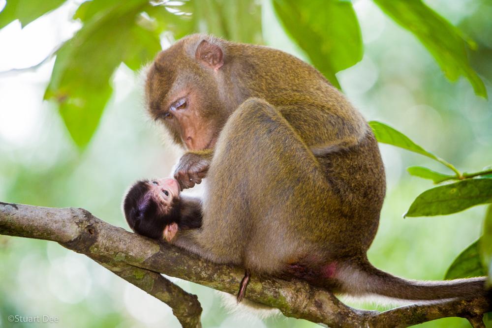 Long-tailed macaque, with baby, Kabili-Sepilok Forest Reserve, Sepilok, Sabah, Malaysia