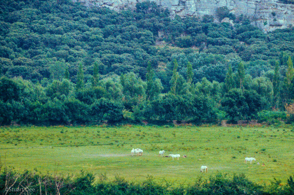White Horses In Field, Provence, France