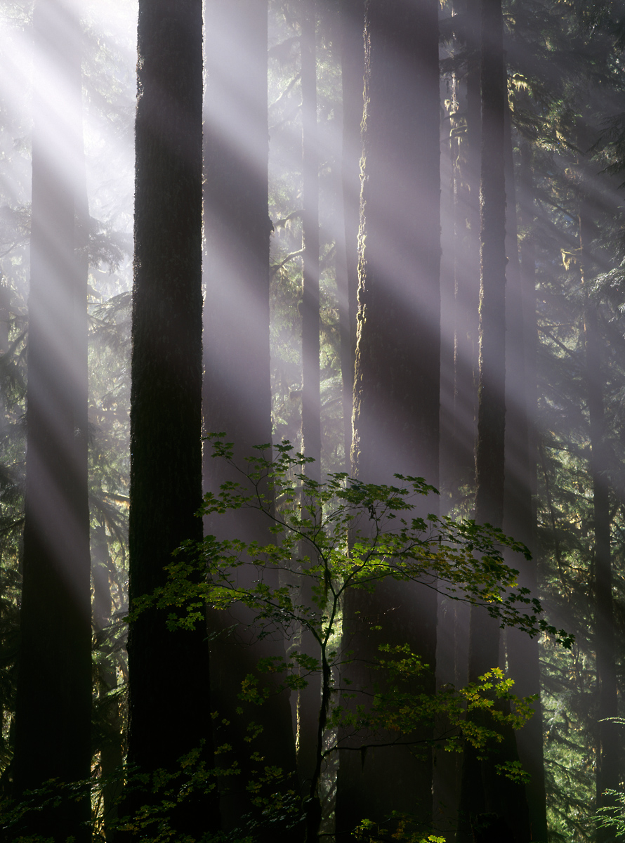 Landscape: Old forest growth in Soleduck valley, Olympic National Park, Washington.
