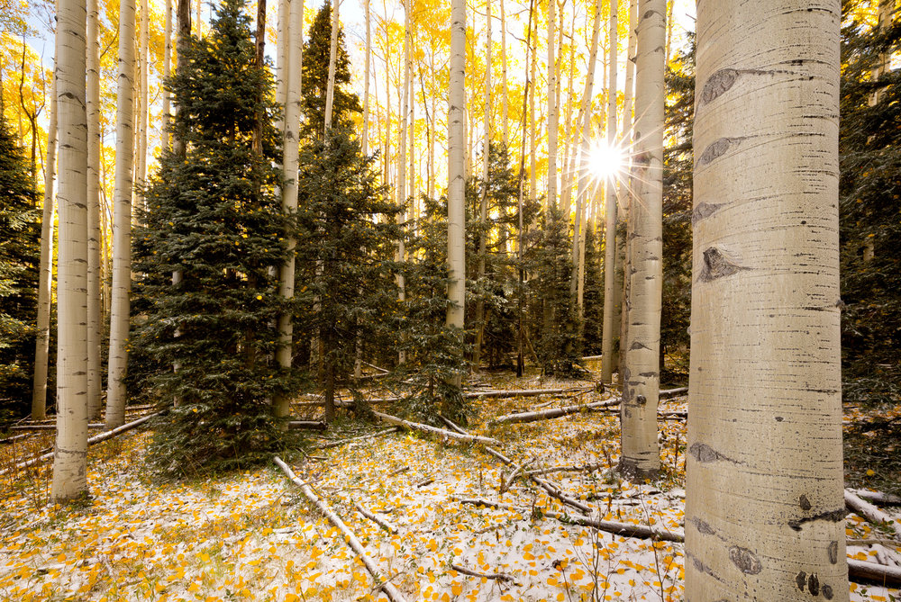Landscape: Sun filtering through a stand of Aspen trees after an early snowfall in autumn, San Juan mountains, Colorado