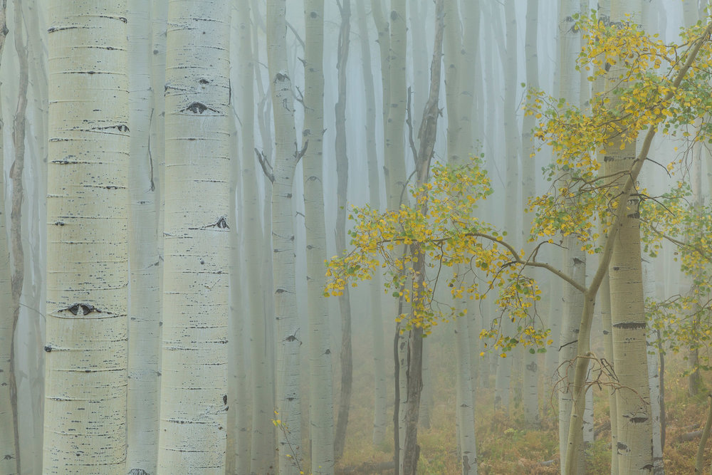 Landscape: Fog rolling through an aspen forest in Autumn, San Juan Mountains, Colorado