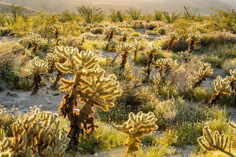 Landscape: Cholla Cactus garden and wildflowers in spring, Anza-Borrego Desert State Park, California