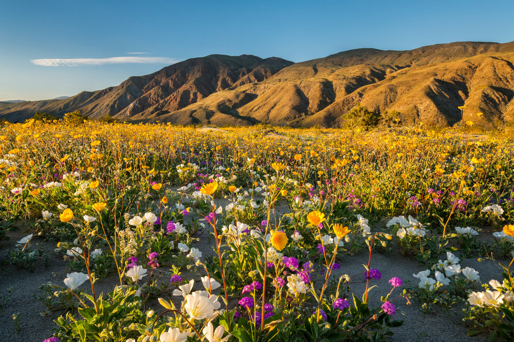 Landscape: Wildflowers in spring bloom, Anza-Borrego Desert State Park, California