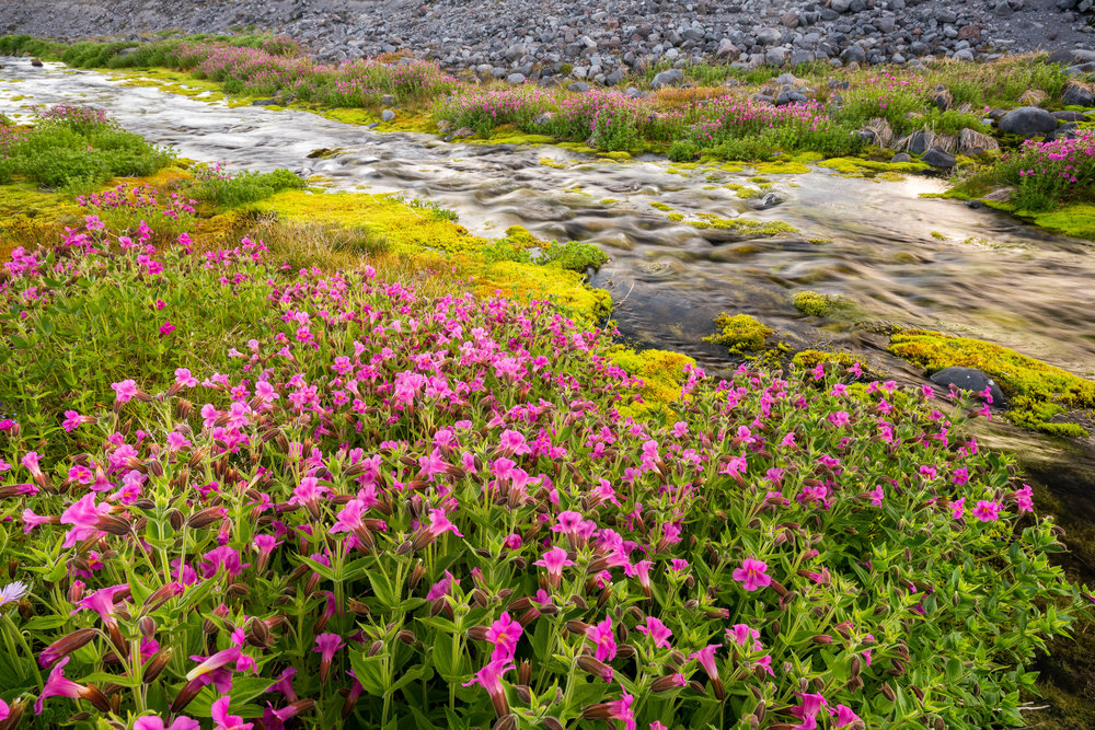 Landscape: Pink Lewis Monkeyflower in summer bloom, Paradise Valley, Mt. Rainier National Park, Washington