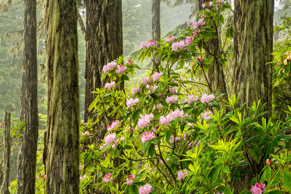 Wild Pacific Rhododendron (R. macrophyllum)in spring bloom, Olympic National Forest, Washington