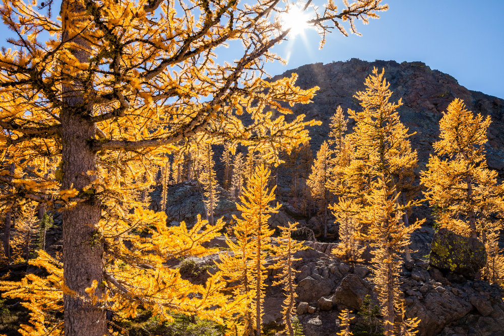 Larch trees in autumn, Ingalls Pass area, Alpine Lakes Wilderness, Washington