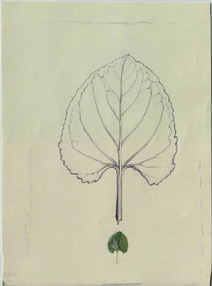 Enlarged Outline of a Violet Leaf, with a life-size leaf below, John Ruskin. Stephen Farthing R.A. presents  eight practical drawing classes  using John Ruskin's teaching collections to explain the basic principles of drawing.