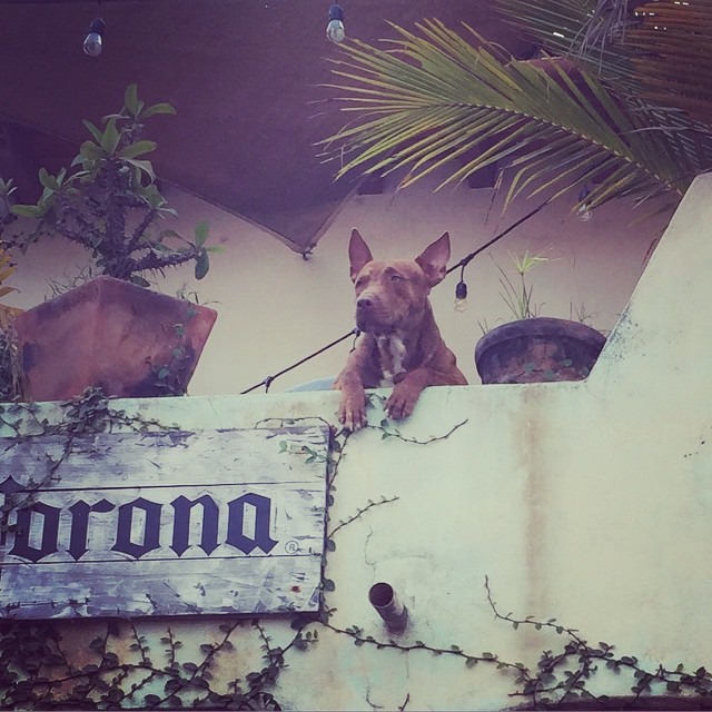 Most of the dogs here seem to have a pretty good life. ❤️ #sayulitalife #sayulita #dogsoftheworld via Instagram  http://ift.tt/1Kny68R