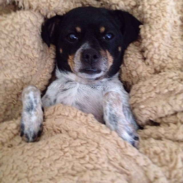 I'm gonna be honest, I'm not getting up. Bring me my food woman. #spoileddog #dinnerinbed #littlemoxiemoomoo #cheagle #dogsofaustin #dogsofinstagram–posted by littlemoxiemoomoo on Instagram