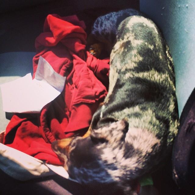 Sunbather in the passenger seat #dachshund #doxie #thenakeddog #austin #hiking #boarding #training #atx #dogsofaustin #dogsofinstagram–posted by thenakeddog on Instagram