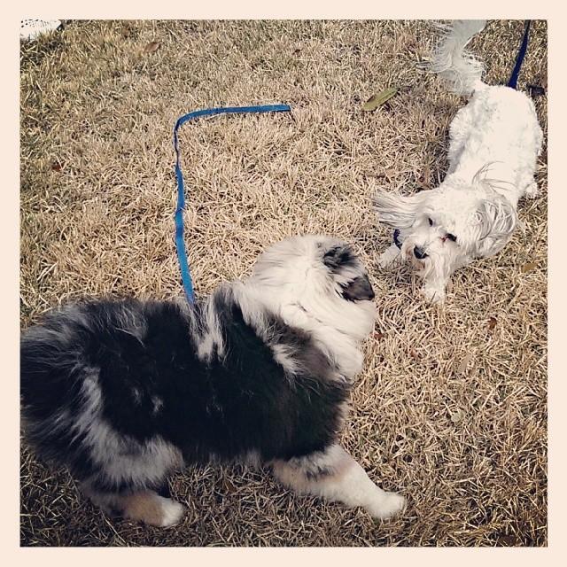 #awesomeaussie #australianshepherd #aussie #havanese #toocute #cute #austin #atxk9 #atx #puppy #puppyplaytime–posted by atx_k9 on Instagram
