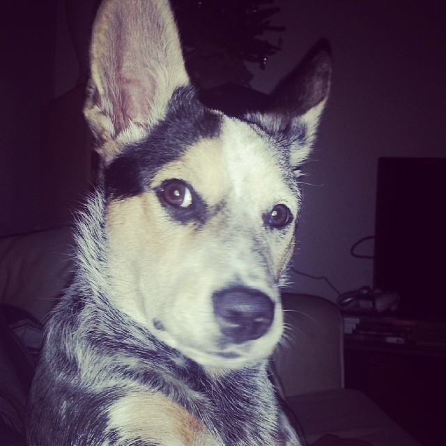 My #wcw for the rest of her life. #blueheeler #dailypuppy–posted by explodingsnowhorse on Instagram