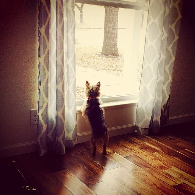 Buffy checking out her window view from the new house. #yorkie–posted by urbanbetty on Instagram