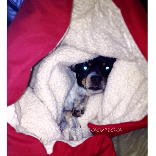 "Really lady? You know I don't do pictures before I've had breakfast… and for this you shall get my ""eyes of laser""! #lasereyes #blindedbythelight #littlemoxiemoomoo #cheagle #dogsofaustin #dogsofinstagram–posted by littlemoxiemoomoo on Instagram"