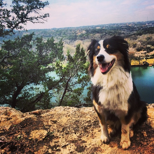Cassie sitting pretty #aussie #thenakeddog #austin #hiking #boarding #training #atx #dogsofaustin #dogsofinstagram–posted by thenakeddog on Instagram