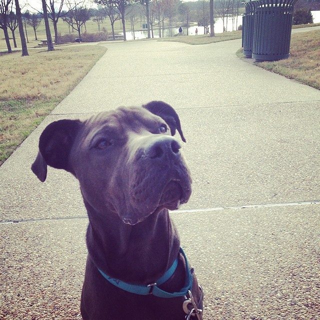 Tommy helped teach a nice jogger man how to play some of his training games so he can use them at home with his dog. He is feeling very accomplished about his new role as Sharer of Important Canine Knowledge! #tommy #adoptable #goodboy #smart #dogsoutloud #austinanimalcenter #trainingrockstar #fieldtrip #park #mueller #atx #atxdogs #upforadoption #sharpei #mixedbreed #handsome #dogsofinstagram #shelterdogsrock #adopt #love–posted by dogsoutloud on Instagram