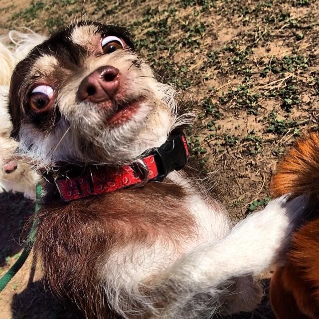 Belle up close and personal #thenakeddog #austin #hiking #boarding #training #atx #dogsofaustin #dogsofinstagram–posted by thenakeddog on Instagram