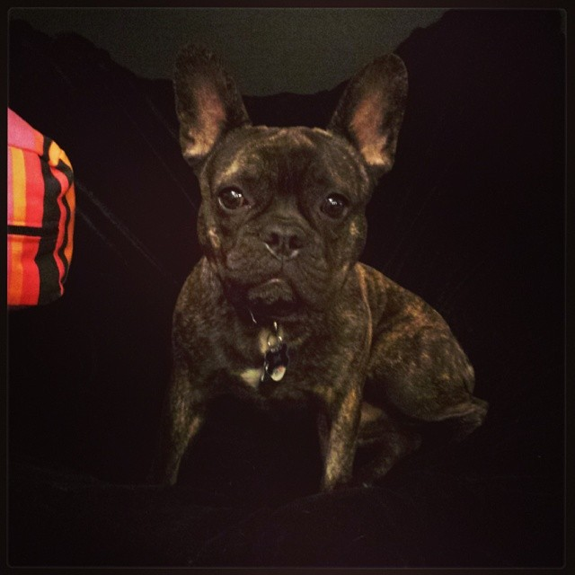 #fab_frenchies #atx #frenchie  #frenchbulldog–posted by ramonlatinlover on Instagram