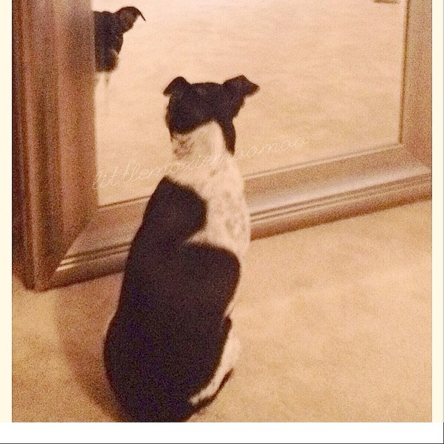 "Hey Mom!! I found the answer to ""who's a pretty girl""!! #prettygirl #mirrorsaremybff #littlemoxiemoomoo #cheagle #dogsofaustin #dogsofinstagram–posted by littlemoxiemoomoo on Instagram"