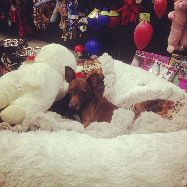 Baxter chillin at work. Cutest #storedog ever! #work #cutest–posted by pawticular on Instagram
