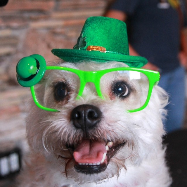 Adorable terrier from yesterday's st pitties party. #loveabullatsx #dogsincostume #stpattysdog #adoptdontshop #terrier #rescuedog #audtin #atx–posted by sandmanpetpix on Instagram