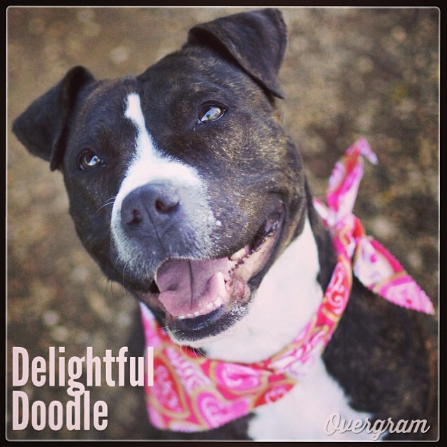 Pollydoodle is on her second tour of duty at @AustinAnimalCenter, having been previously adopted for a long period and then returned through no fault of her own. She has a GREAT attitude and #joyfulsmile to bless your life with! Meet her at #TLAC👍 #austin #austinanimalcenter #DOGS #pitties #staffies #mutts #brindles #muttsrule #dogsrule #muttsrbest #flopdontcrop–posted by hardluckhoundsaustin on Instagram