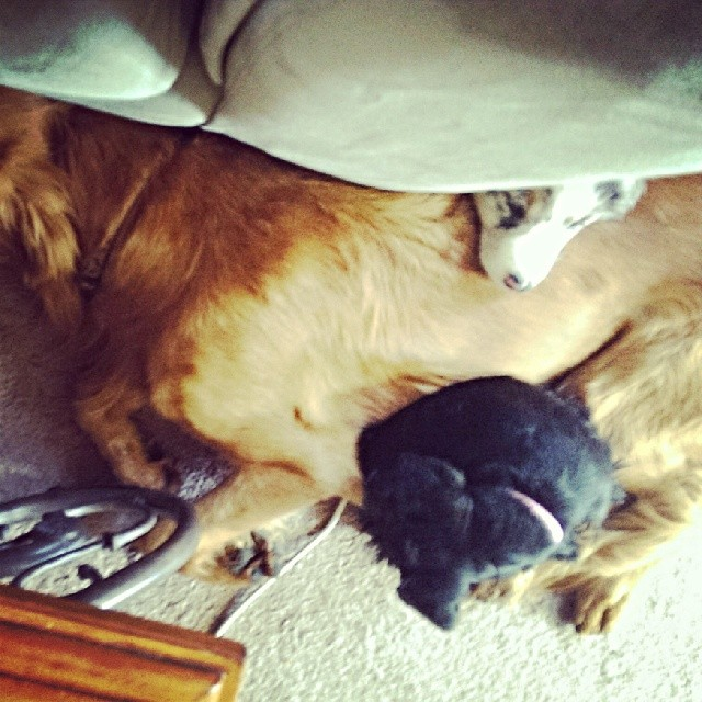 Remy makes a perfect pillow for the puppies. #puppy #puppiesofinstagram #goldenretriever #australianshepherd #golden #aussie #atx #schnauzer #naptime–posted by atx_k9 on Instagram