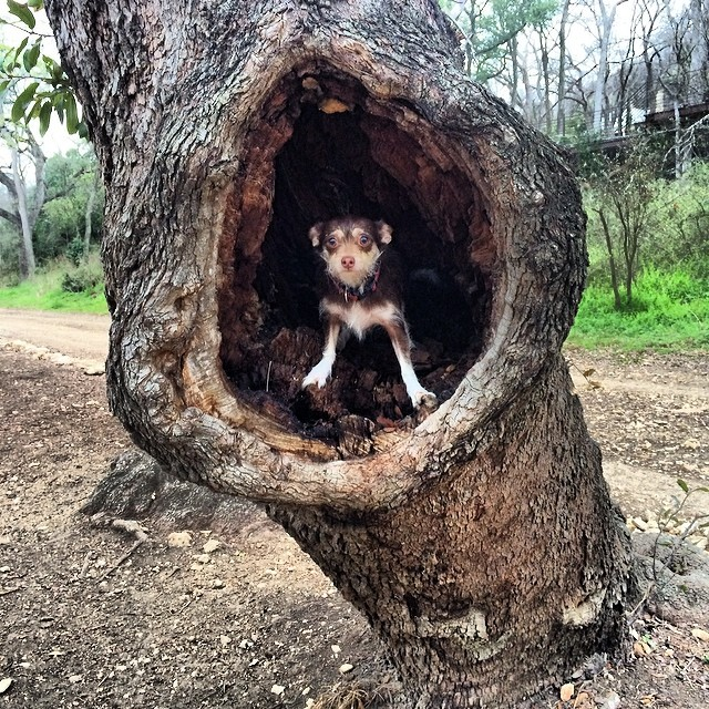 Bell in a tree #thenakeddog #austin #hiking #boarding #training #atx #dogsofaustin #dogsofinstagram–posted by thenakeddog on Instagram