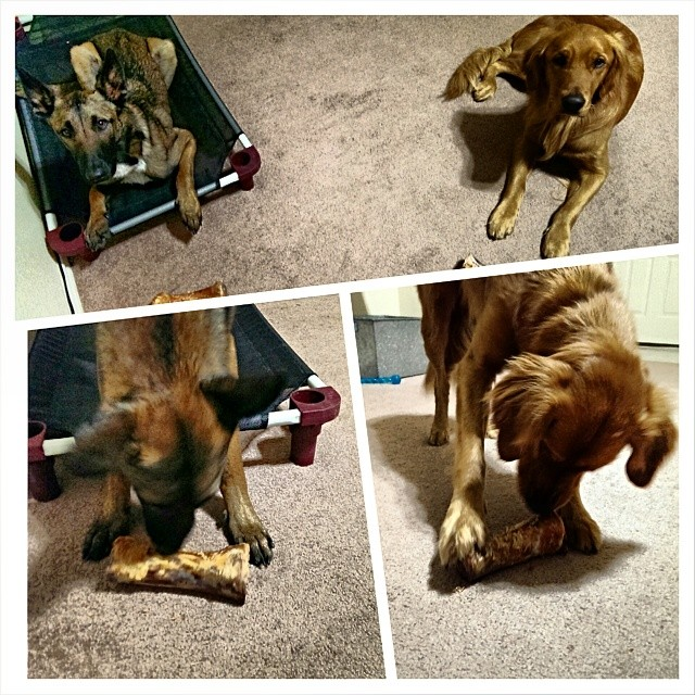 Loving our special bones from grandma :) #goldenretriever #golden #maligator #mal #malinois #austin #atx #bones #yummy #delicious #spoiled #awesome #bestgrandmaever–posted by atx_k9 on Instagram