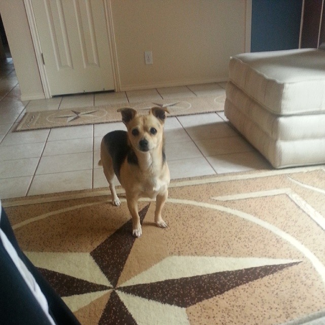 Chuy asking to go outside…. #chiple #Chihuahua –posted by latweety23 on Instagram
