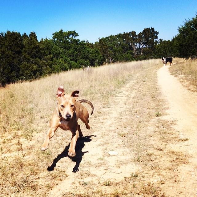 Etta: born to run #thenakeddog #austin #hiking #boarding #training #atx #dogsofaustin #dogsofinstagram #pittiemix–posted by thenakeddog on Instagram