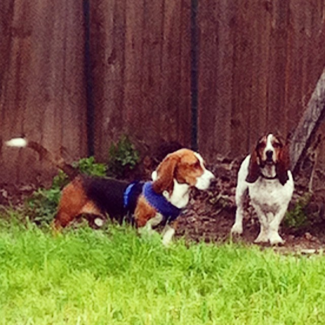 Foster dog Roscoe & Waffles play date. #bassethound #bassetlove #adopt #rescuedogs–posted by karensinaustin on Instagram