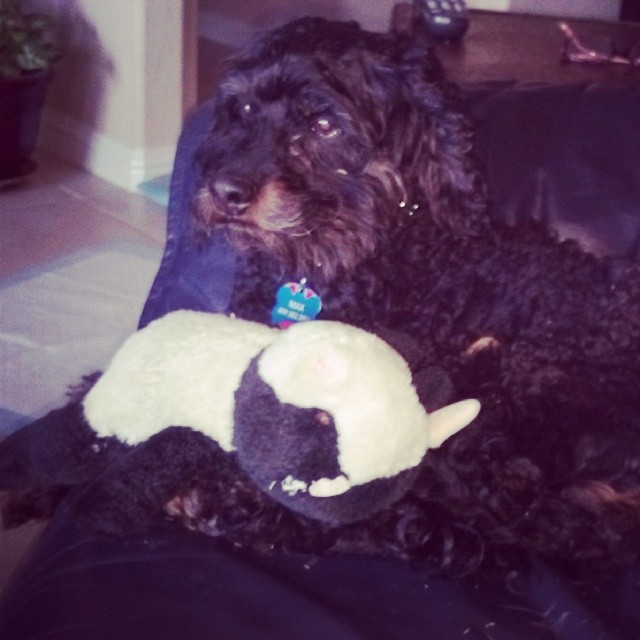 Max and his moo cow    #dogsofaustin–posted by austinpawville on Instagram