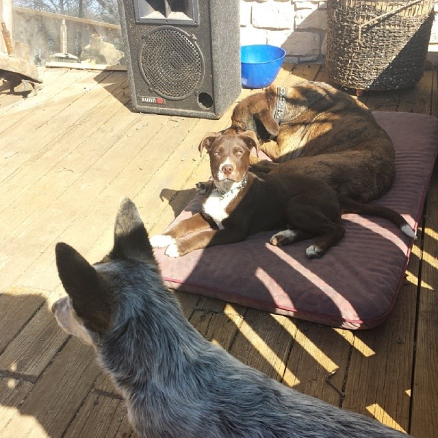 June, Bronson, and Fender enjoying the sun. #blueheeler #pitmix #dailypuppy–posted by explodingsnowhorse on Instagram