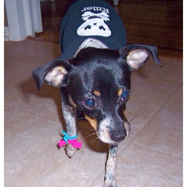 "Birthday week puppy pic (4mths old): On her way to a costume contest at her ""school"".She chose to go punk- she got 1st place :). #punkrockpup #birthdayweek #thebig4 #dogsofaustin #dogsofinstagram–posted by littlemoxiemoomoo on Instagram"