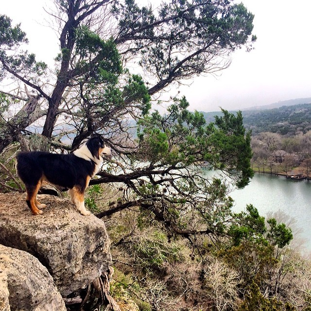 A Cas with a view #thenakeddog #austin #hiking #boarding #training #atx #dogsofaustin #dogsofinstagram #aussie–posted by thenakeddog on Instagram