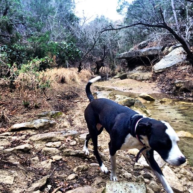 Zizzle at the creek #thenakeddog #austin #hiking #boarding #training #atx #dogsofaustin #dogsofinstagram #pittiemix–posted by thenakeddog on Instagram