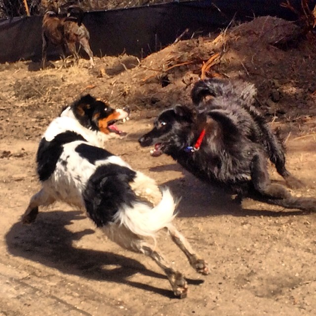 Chuy & Audrey #justplayin #thenakeddog #austin #hiking #boarding #training #atx #dogsofaustin #dogsofinstagram–posted by thenakeddog on Instagram