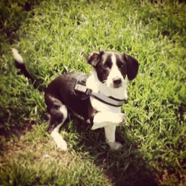 Hello! #leyvaslovedpets #corgi #muttlove #adoptdontshop #austinanimalcenter #training #hello #dogtraining–posted by mrsleyva on Instagram