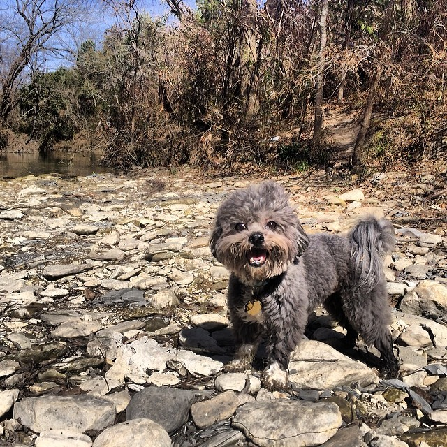 Frank on a hike #thenakeddog #austin #hiking #boarding #training #atx #dogsofaustin #dogsofinstagram–posted by thenakeddog on Instagram
