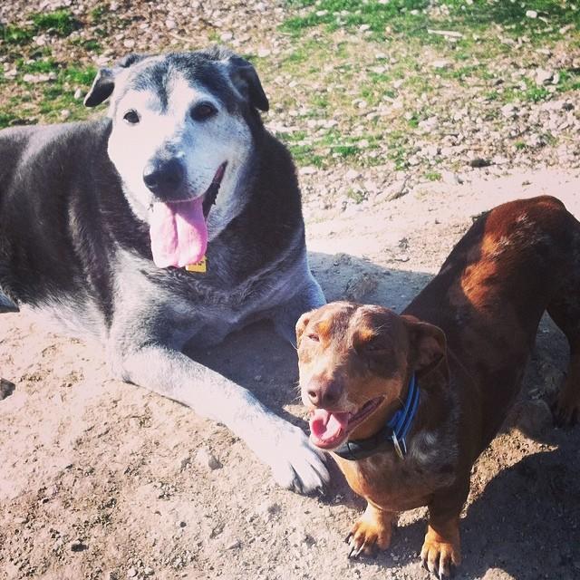 Happy dogs #seniordogs #lab #holly #reesie #dapple #dachshund #dogpark #dogsofinstagram–posted by karensinaustin on Instagram