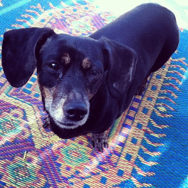 Delaney Valentine the wonder weinerdog #dachshund #weinerdogs–posted by karensinaustin on Instagram