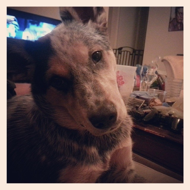 My favorite pup in the whole world. #blueheeler–posted by alisonowens on Instagram