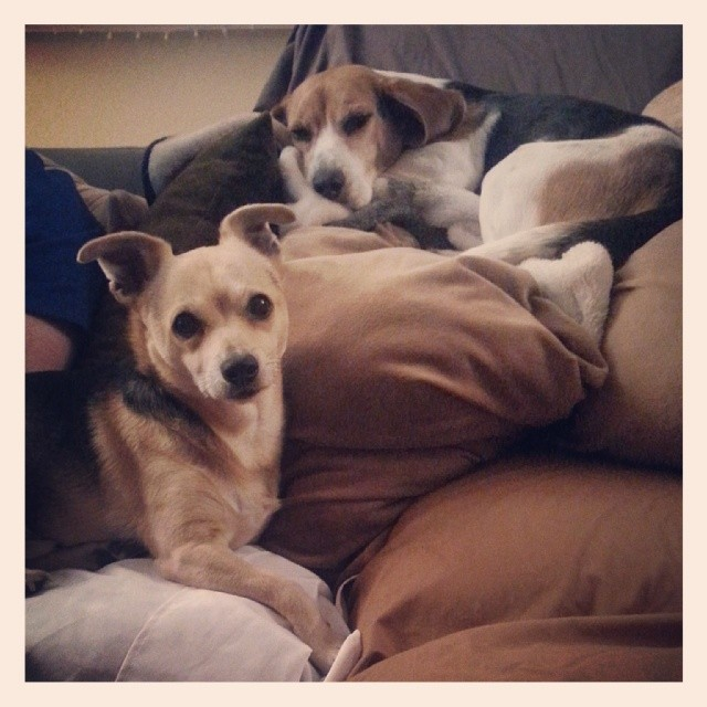 My fur babies know I am leaving for a few hours. #Chihuahua #beagle #spoiled #chiple –posted by latweety23 on Instagram