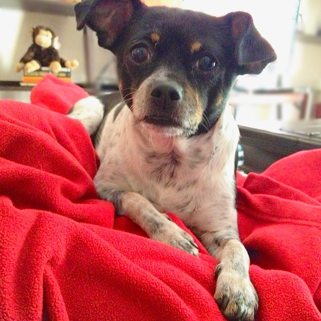 Tell me the truth. Is there…a…monkey…behind me? #dontlookback #littlemoxiemoomoo #cheagle #dogsofaustin #dogsofaustin –posted by littlemoxiemoomoo on Instagram